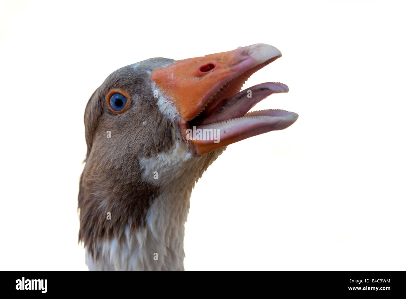 an angry goose on isolated white background - Stock Image