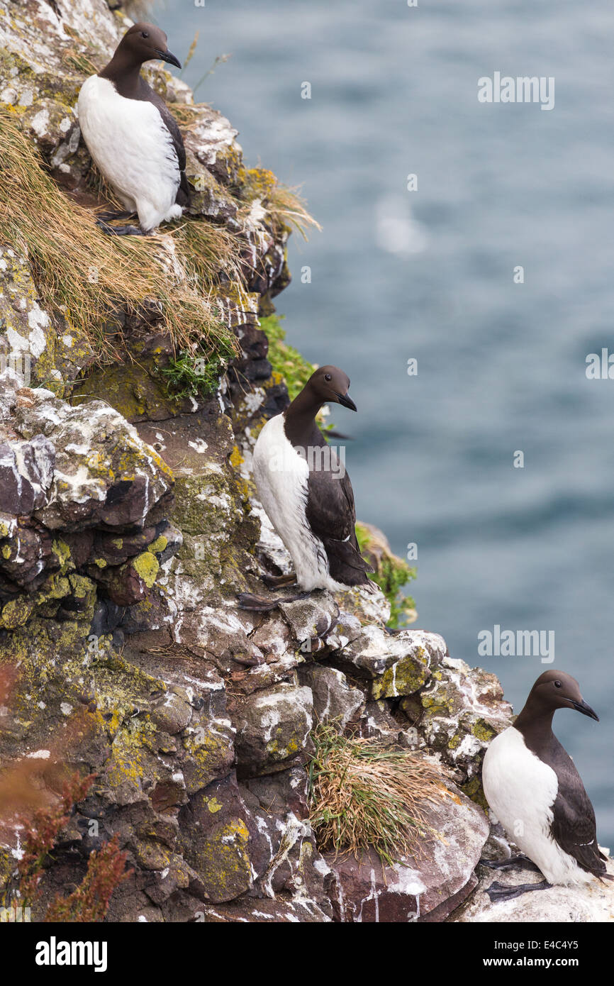 guillemots on cliffs edge. Crawton N.E.Scotland. Stock Photo