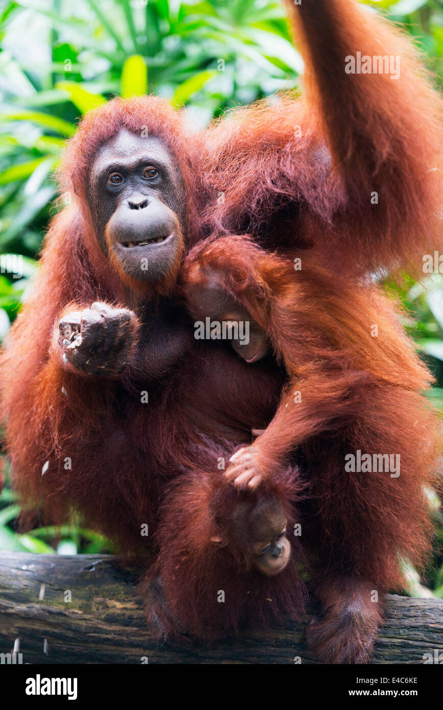 South East Asia, Singapore, Singapore zoo, Orangutan (Pongo borneo) - Stock Image