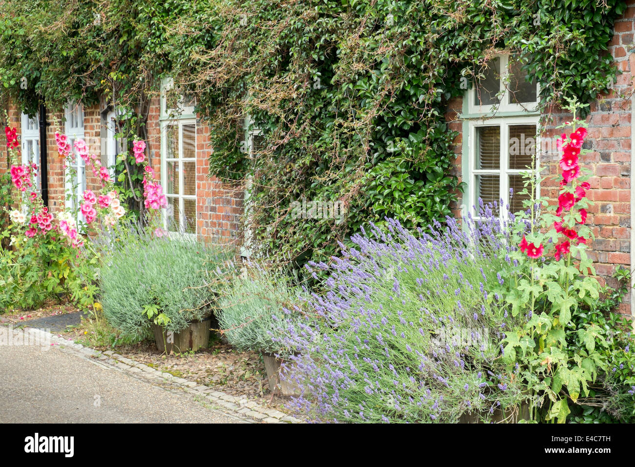 Lavender & Hollyhocks growth in cottage front gardens Hambleden village Buckinghamshire UK - Stock Image