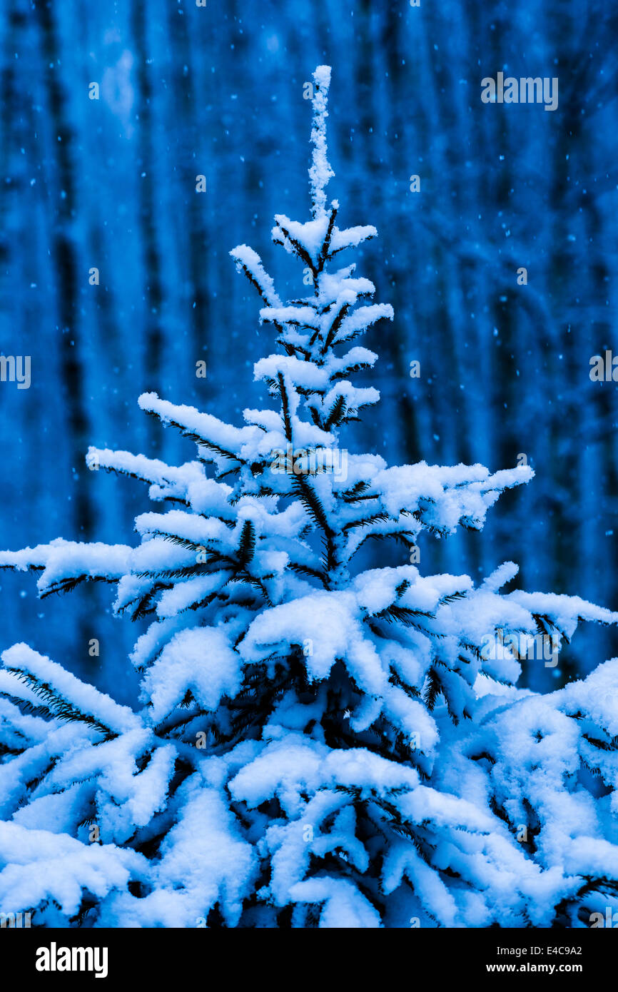 ea4e5cdd4f0 Snow covered Christmas tree against blue background of dark winter forest  and snowfall - Stock Image