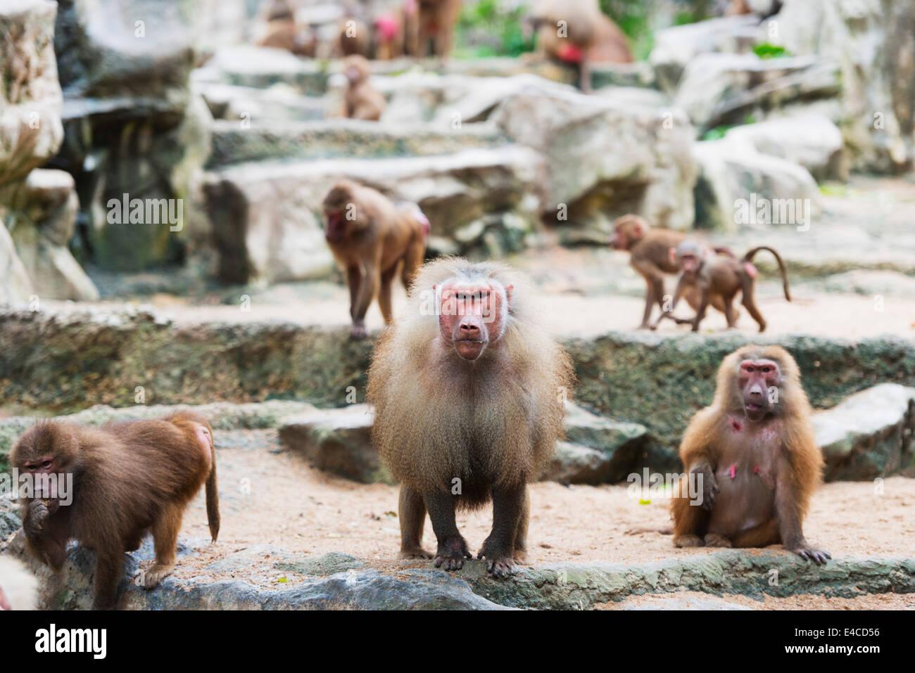 South East Asia, Singapore, Singapore zoo, Ethiopian baboon, Gelada (Theropithecus gelada) - Stock Image