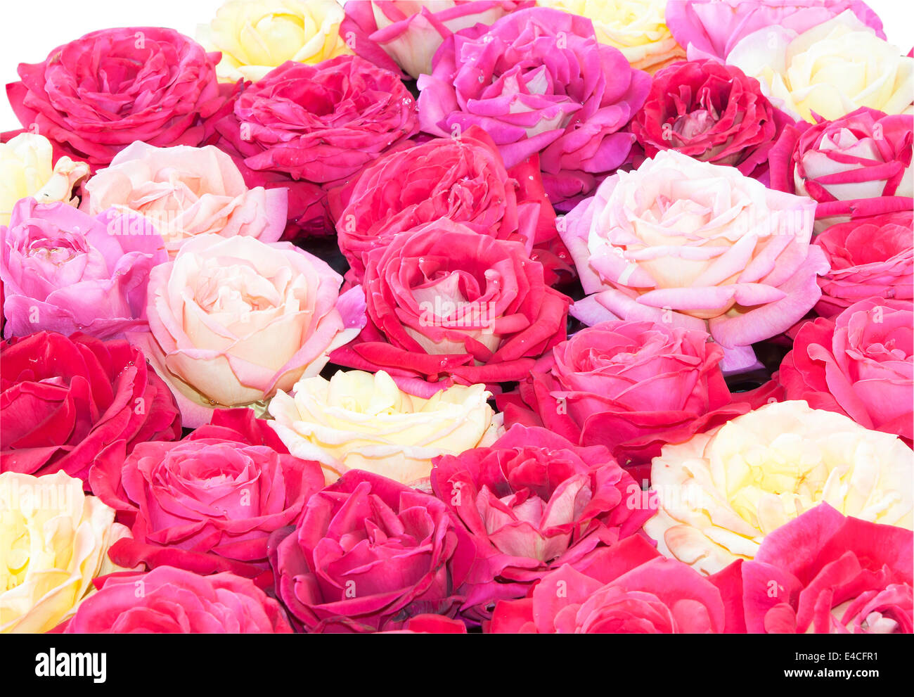 Background of pink roses represent love, I love you. - Stock Image
