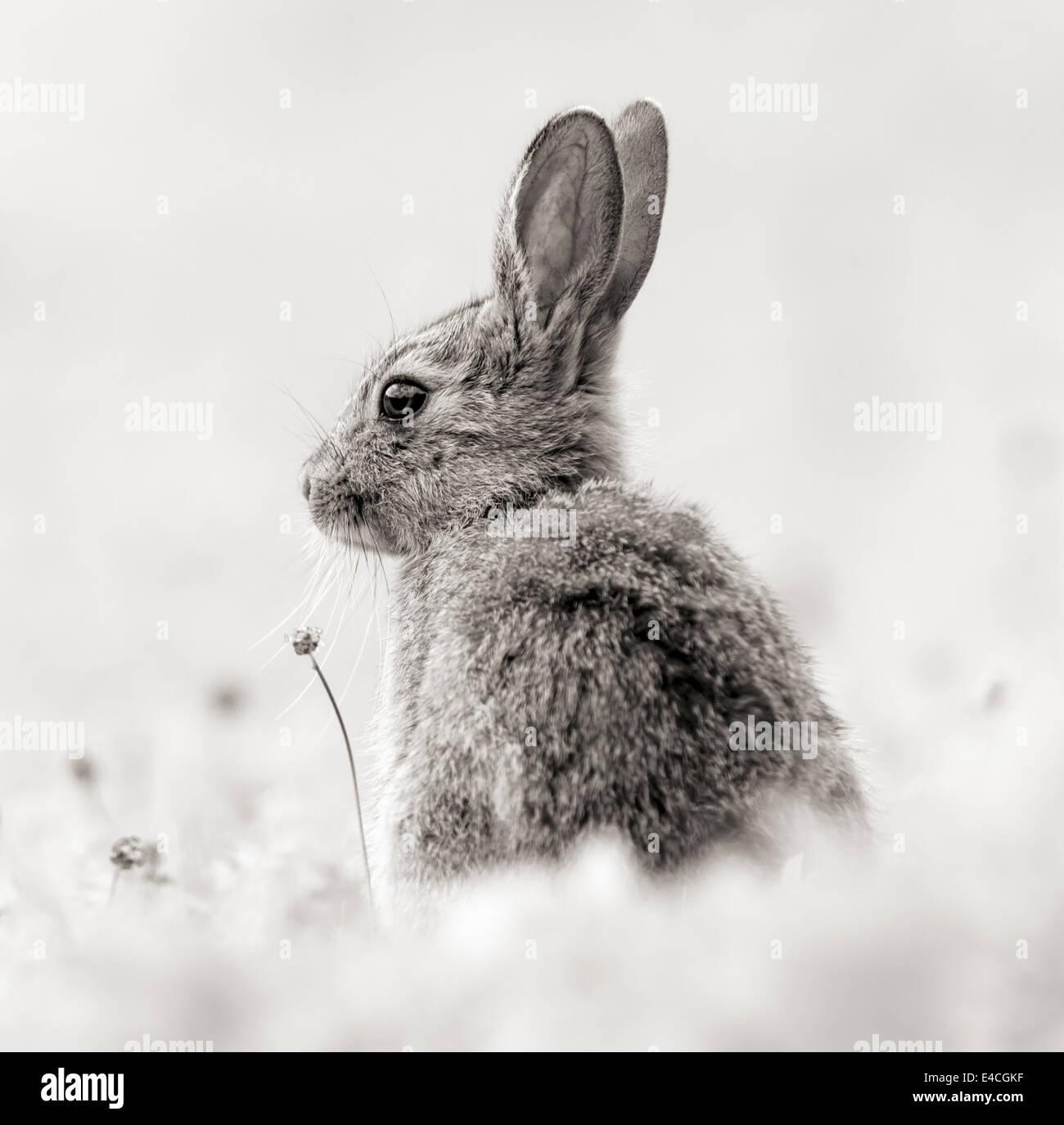 Rabbit in monochrome - Stock Image