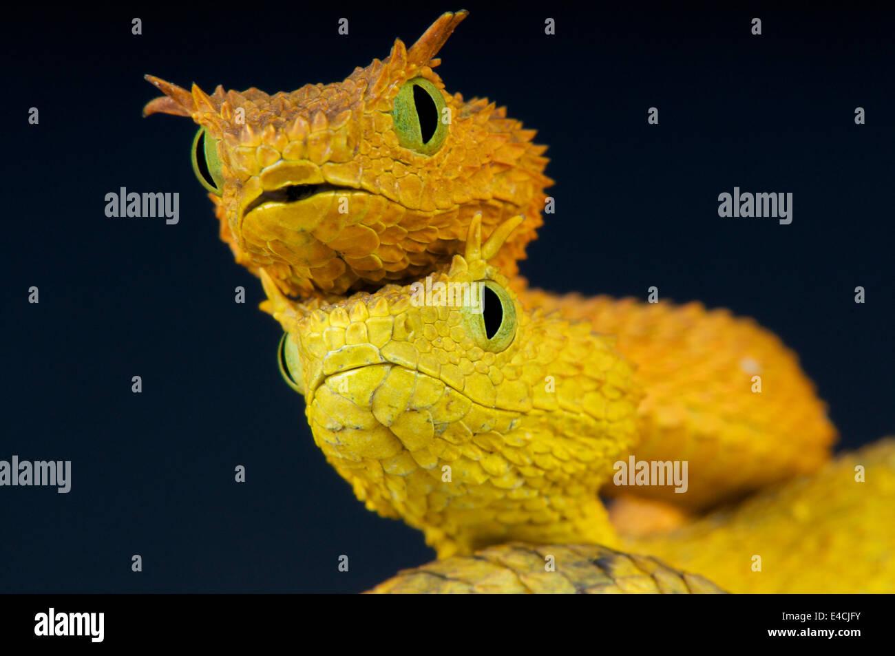 Usumbara bush vipers / Atheris ceratophora - Stock Image