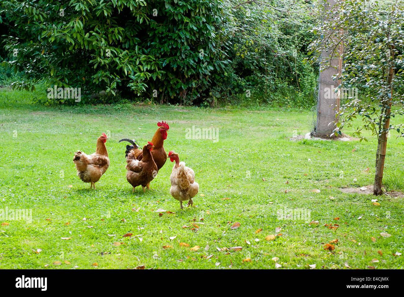 A cockerel and his hens on grass lawn - Stock Image