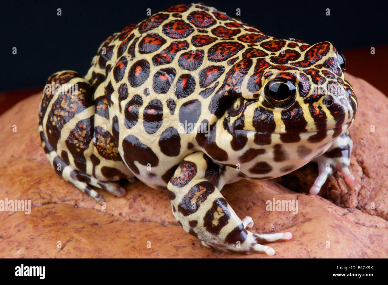 Coralline frog / Leptodactylus laticeps - Stock Image