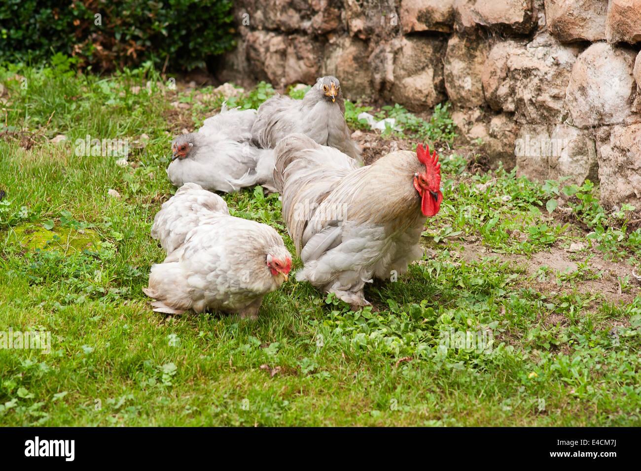 Lavender Pekin Bantam cockerel and his hens in the grass - Stock Image