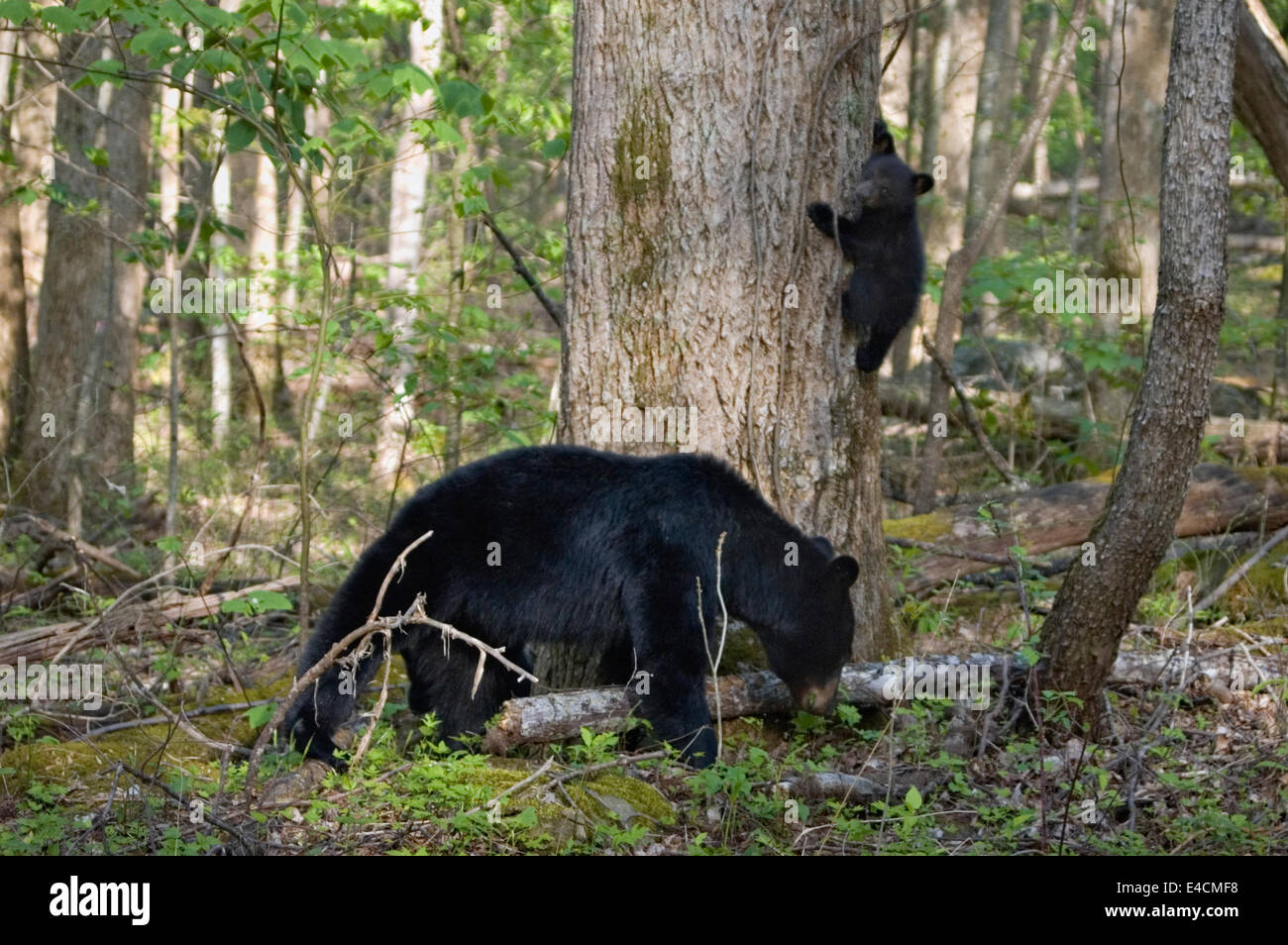 Black Bear Sow and Cub in Spring Forest in the Great Smoky Mountains National Park in Tennnessee - Stock Image