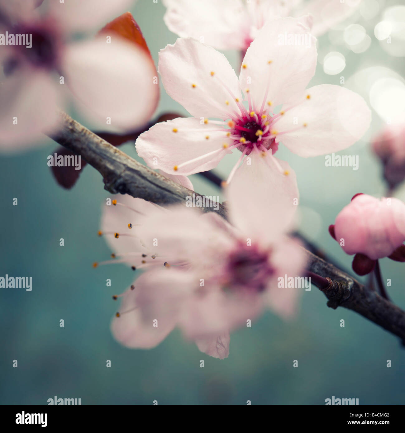 Spring blossom on rustic wooden table - Stock Image