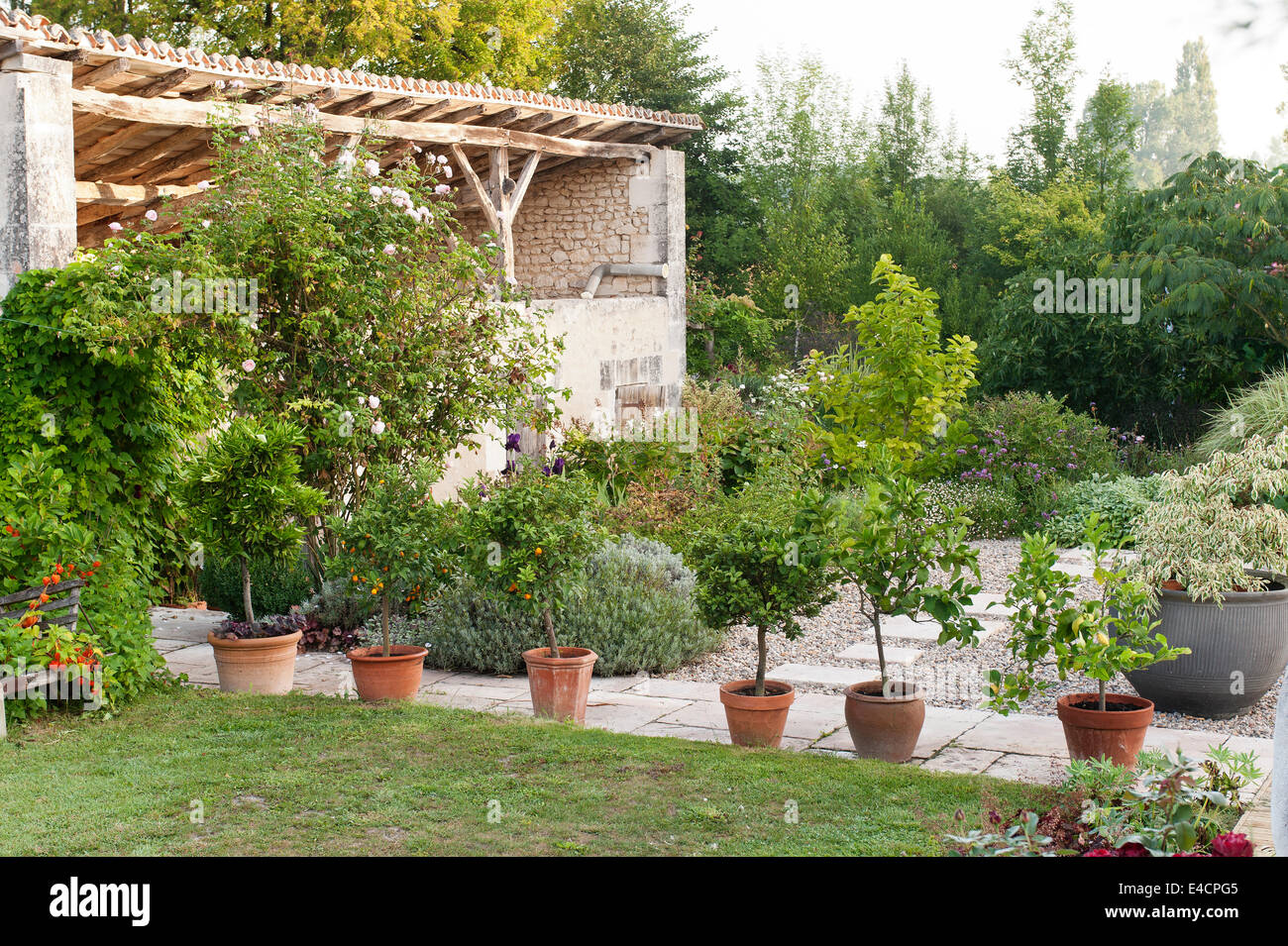 Row Of Potted Citrus Trees On Stone Paving In Garden With An Old Barn    Stock
