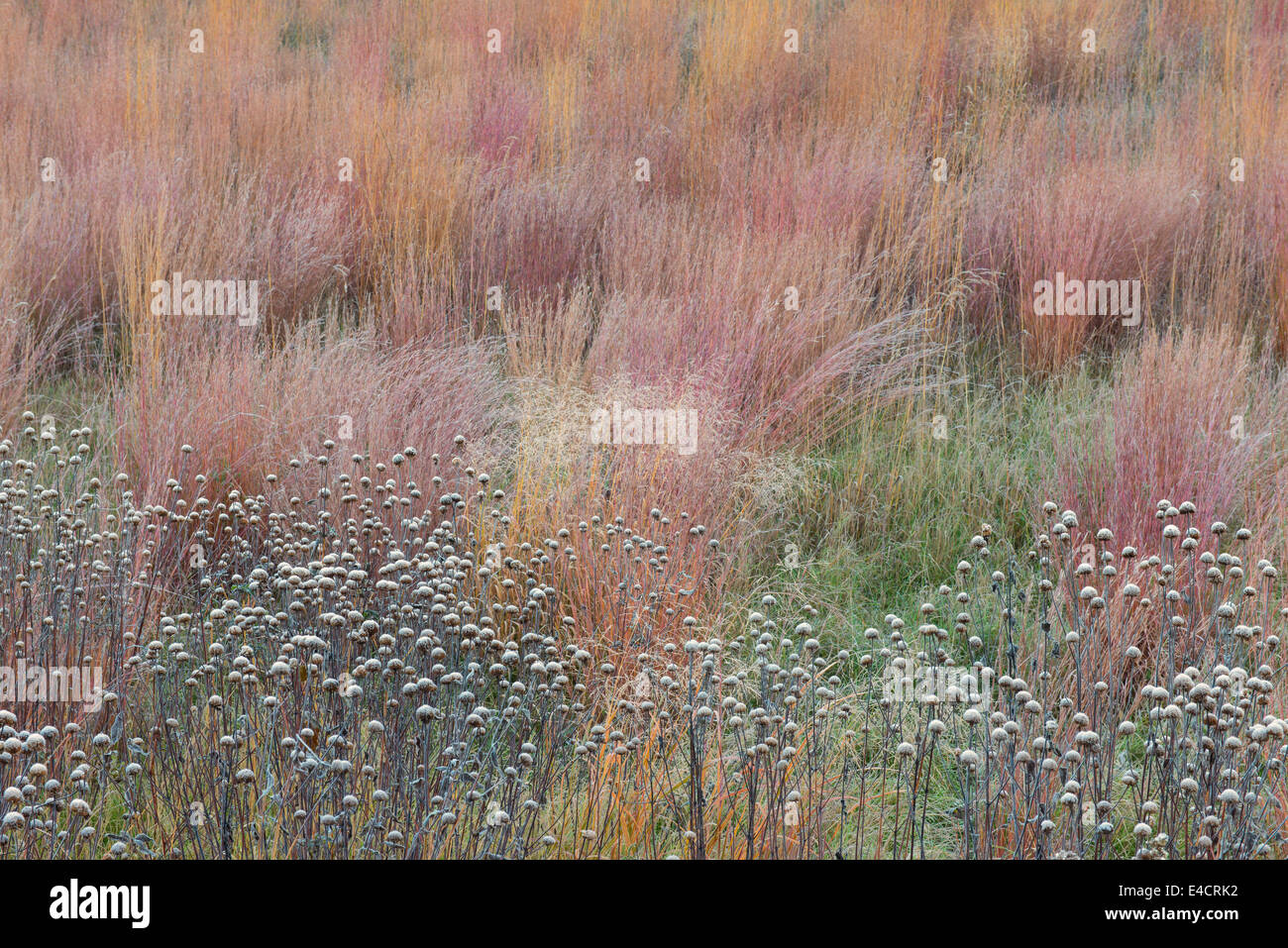 Frost covers these seed heads in an Oak Savanna in Stony Creek Metropark, Michigan, USA. - Stock Image