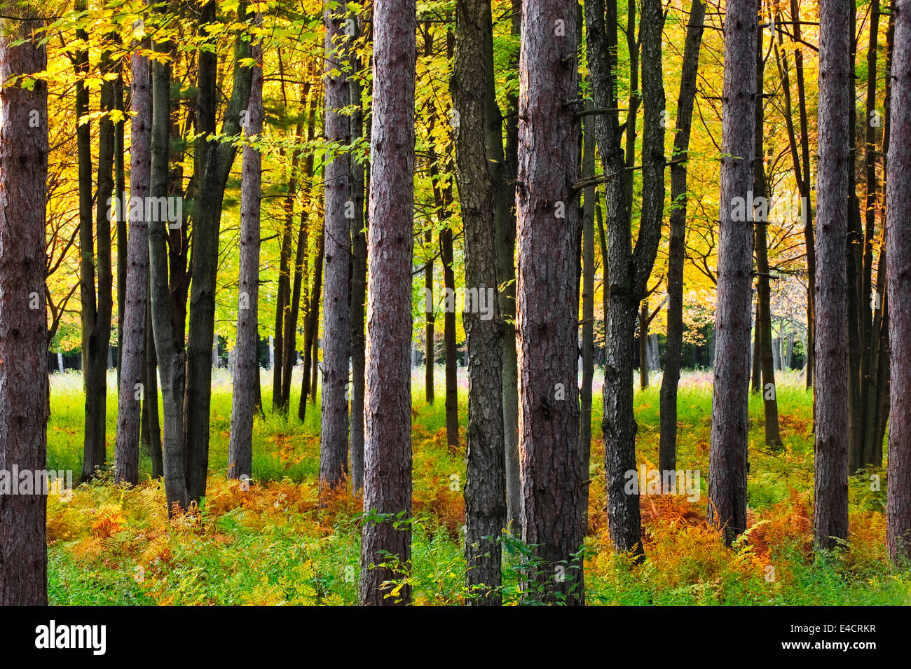 A pine forest in Southeast Michigan during fall color. - Stock Image