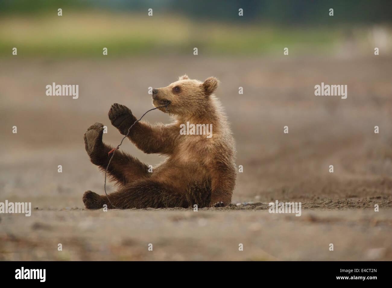 A Brown or Grizzly Bear cub, Lake Clark National Park, Alaska. - Stock Image
