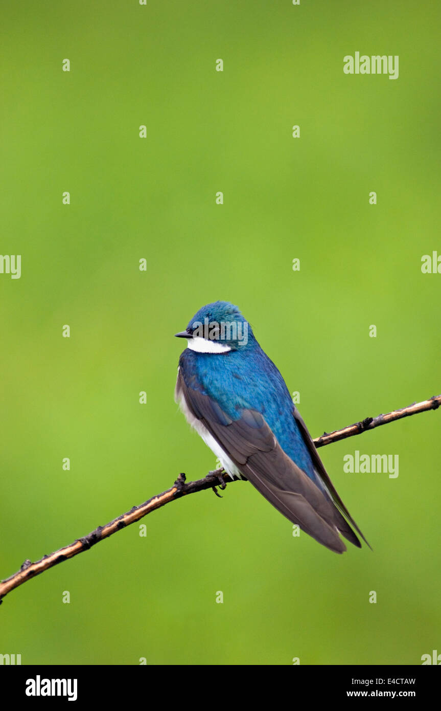 Tree Swallow Male - Stock Image