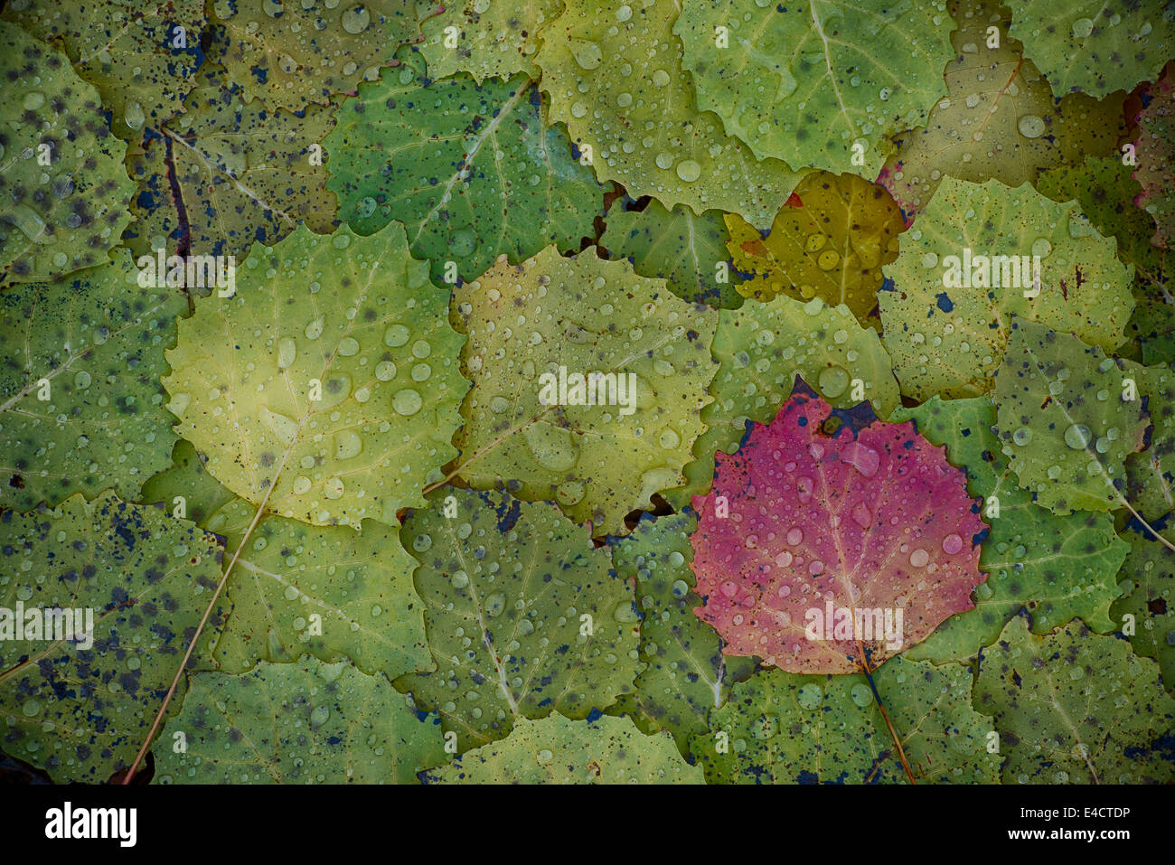 Bigtooth Aspen leaves with morning raindrops create a colorful pattern in Highland Recreation area in Southeast Stock Photo