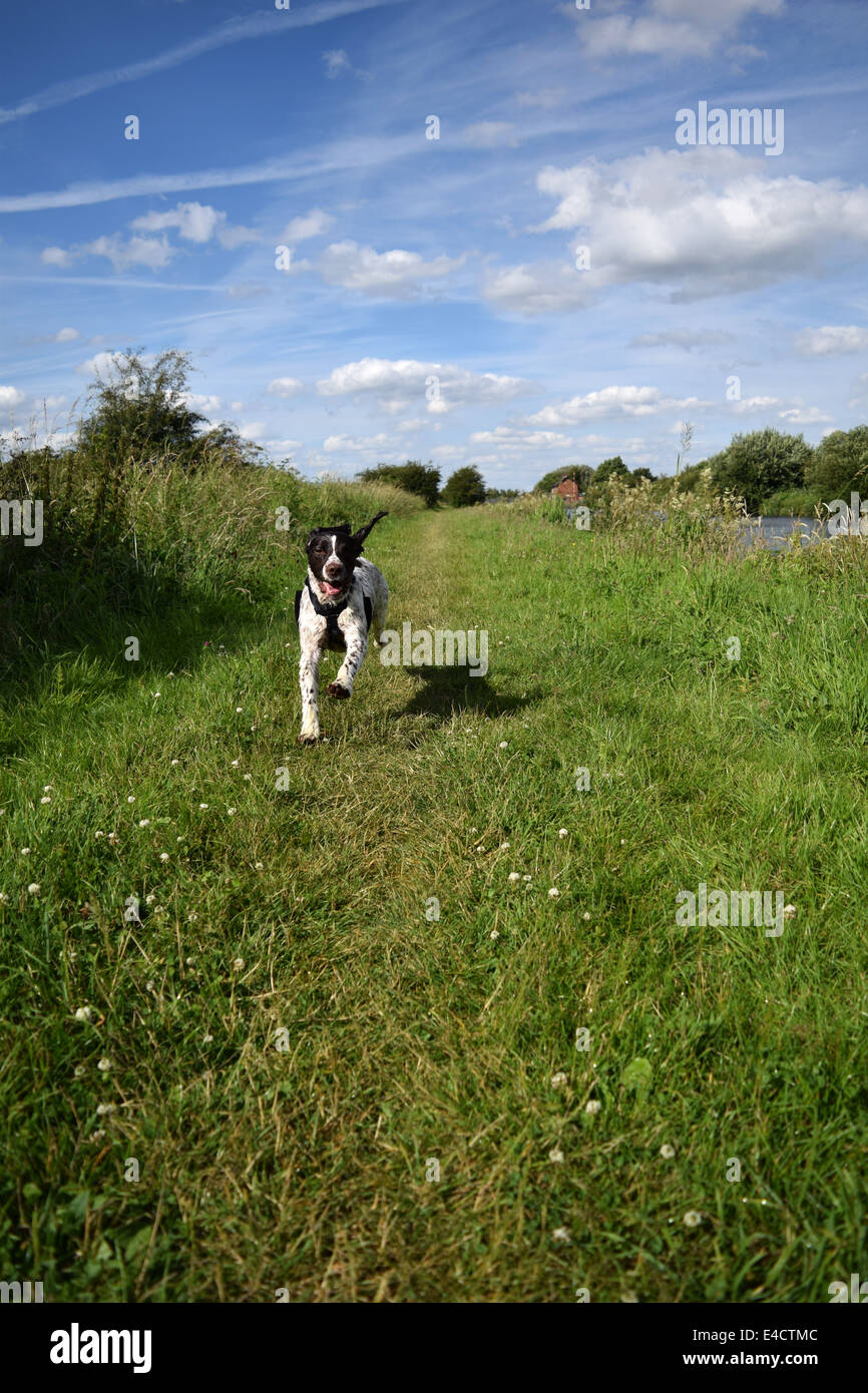 Springer Spaniel dog in mid air whilst running along the canal towpath on a summer day. - Stock Image