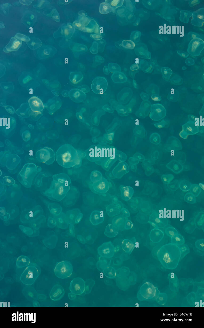 Smack of Jellyfish, Cascade Bay, Prince William Sound, Chugach National Forest, Alaska. - Stock Image