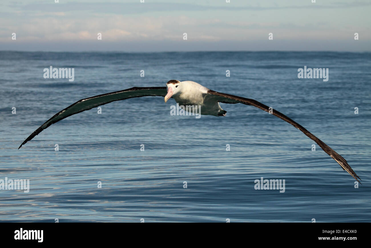 A Wandering Albatross gliding on gigantic wings. - Stock Image