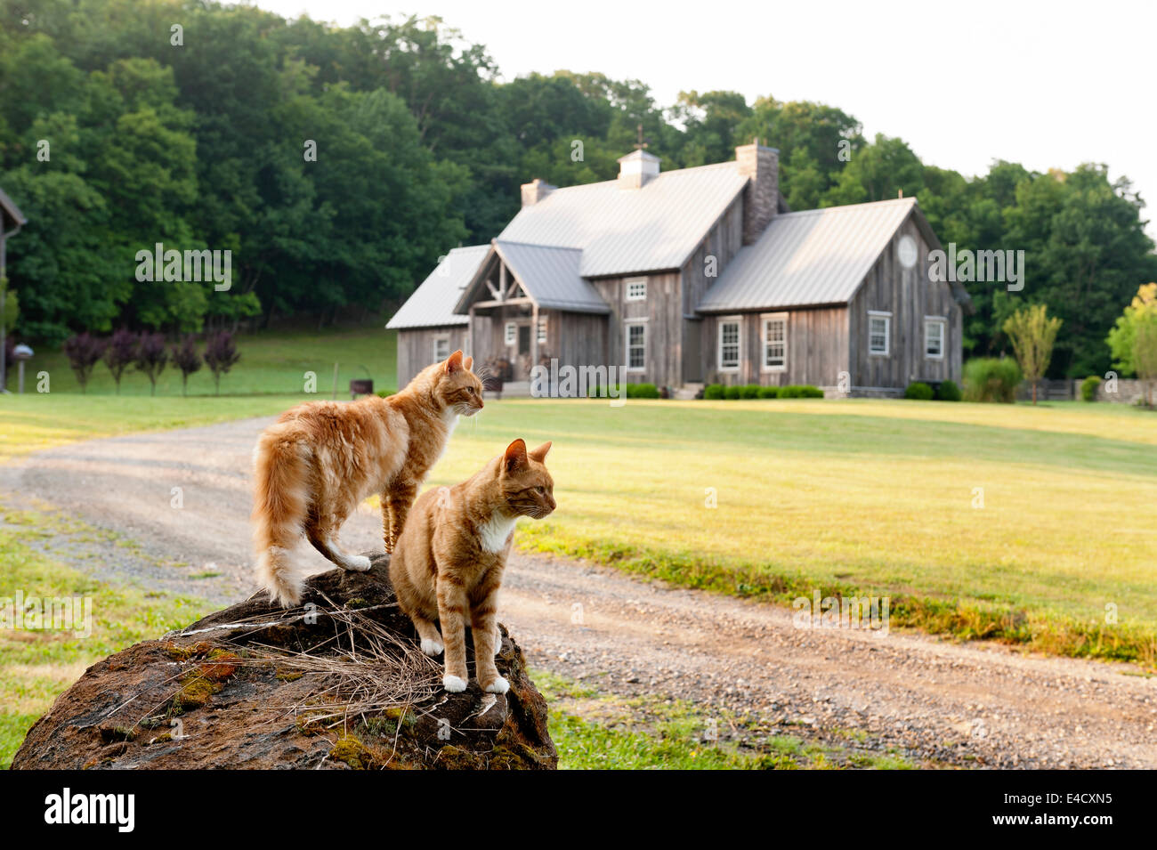 Pair of ginger cats on rock by driveway of timber-framed house - Stock Image