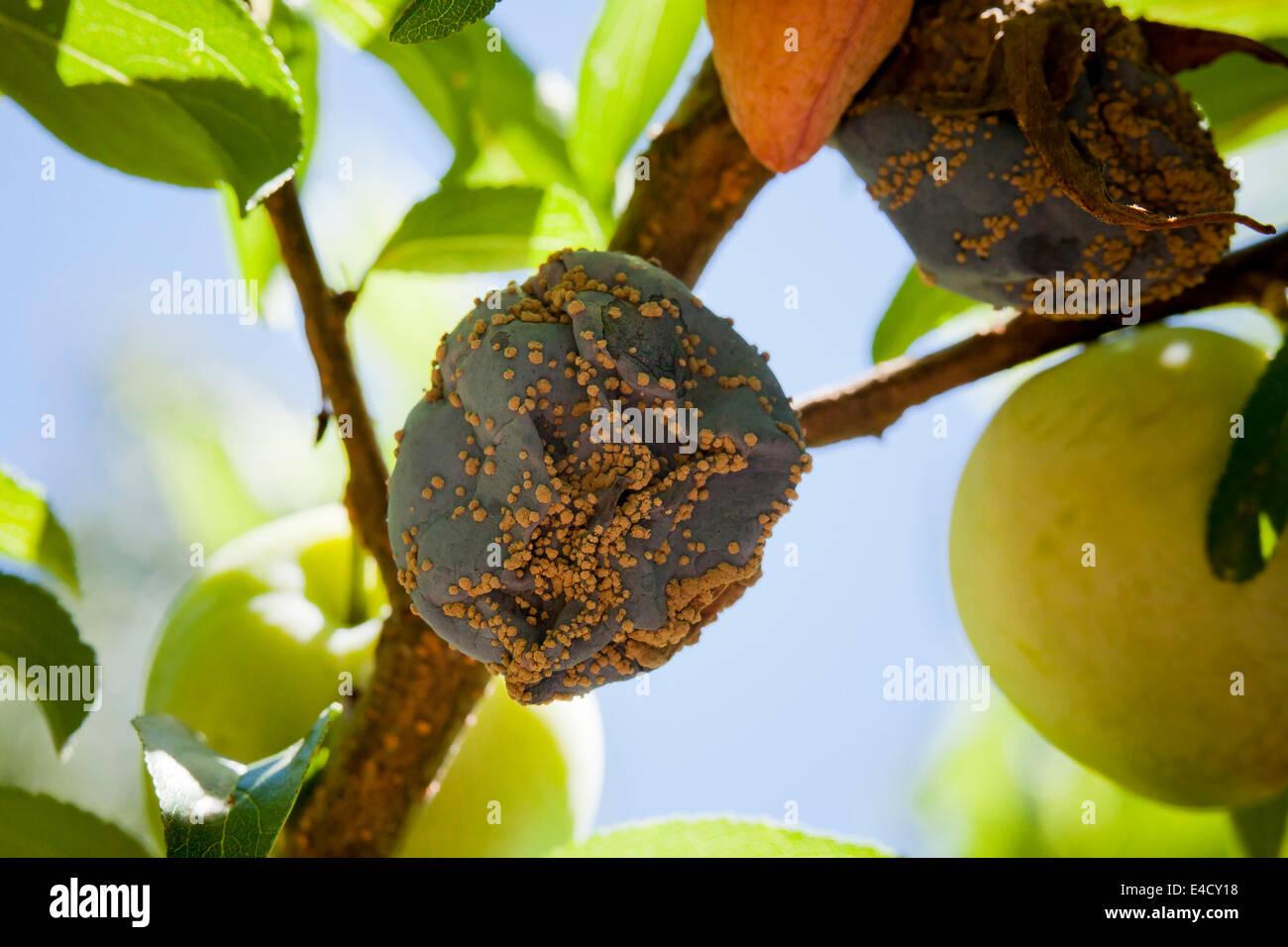 Brown rot fungal disease (Monilinia fructicola) on plums - USA - Stock Image