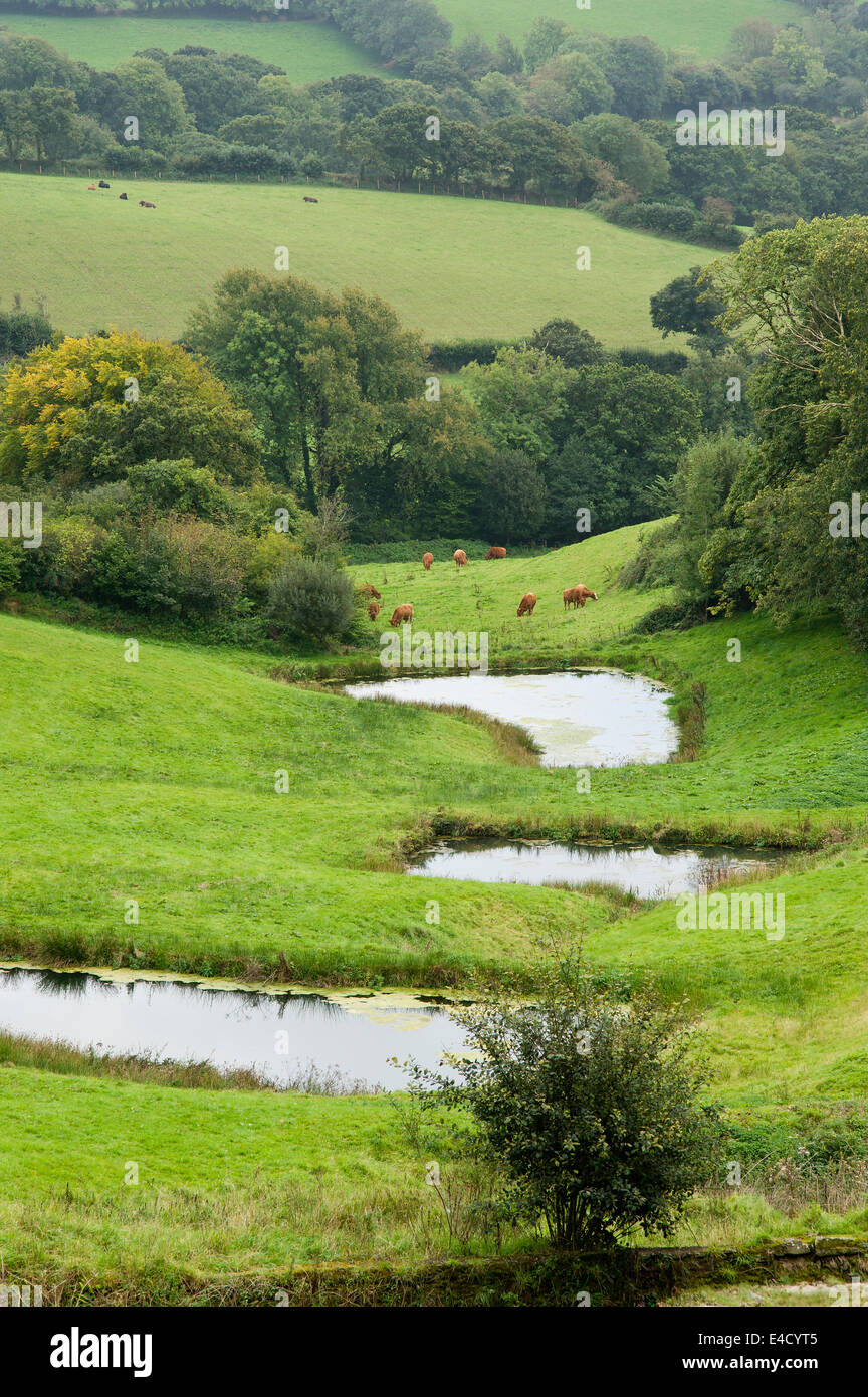 View of small ponds and grazing farmland in rural devon - Stock Image