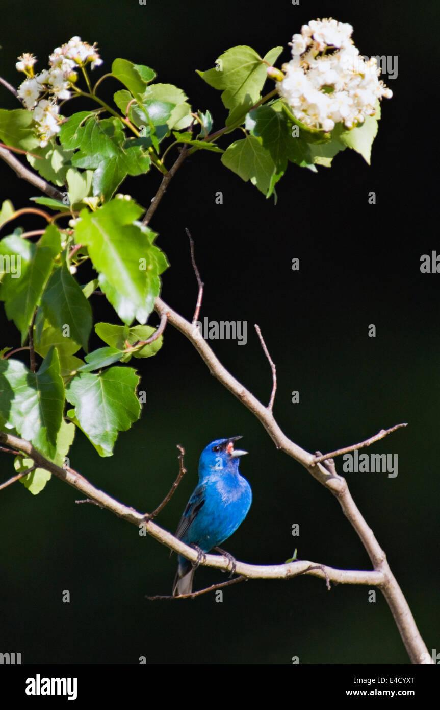 Indigo Bunting Singing in Washington Hawthorn Tree - Stock Image