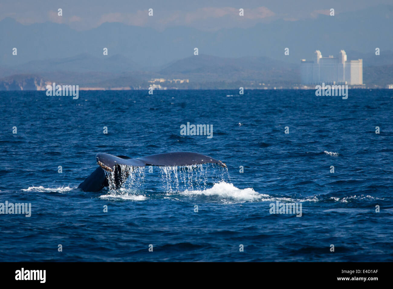 The tail of a humpback whale disappears into the ocean near Mazatlan, Sinaloa, Mexico. - Stock Image