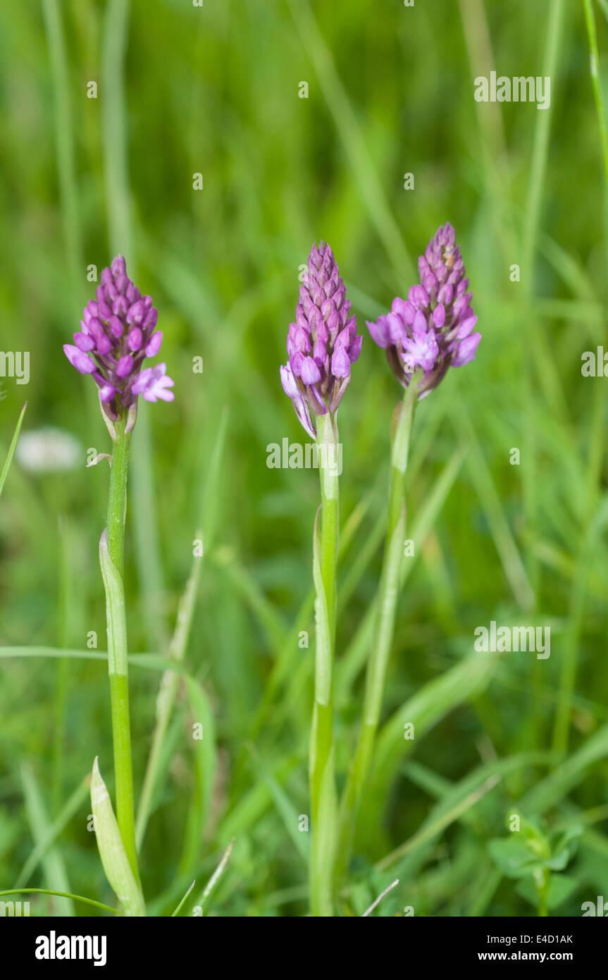 Anacamptis pyramidalis Pyramid orchid pyramidal pink native new forest Stock Photo