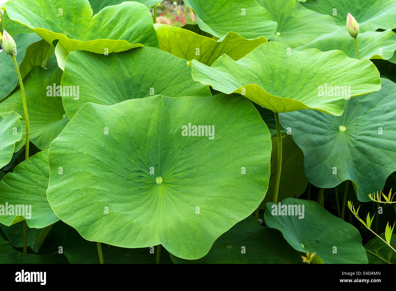 Lotus Flower Leaves Stock Photos Lotus Flower Leaves Stock Images