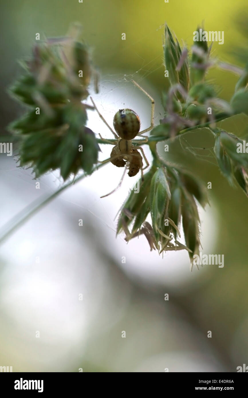 Spider eats maggot - Stock Image