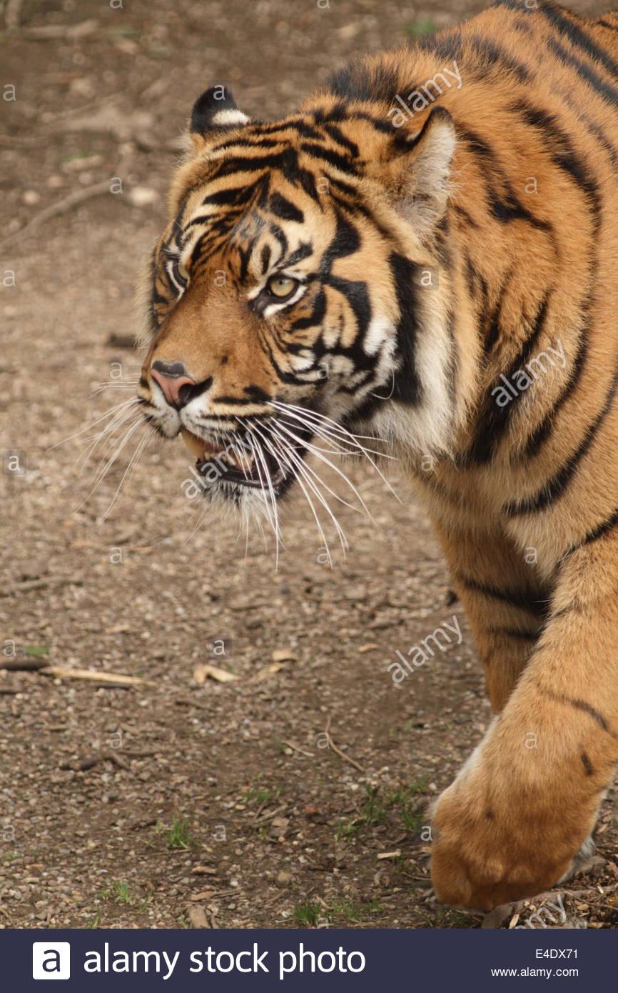 Sumatran Tiger at a UK zoo. - Stock Image
