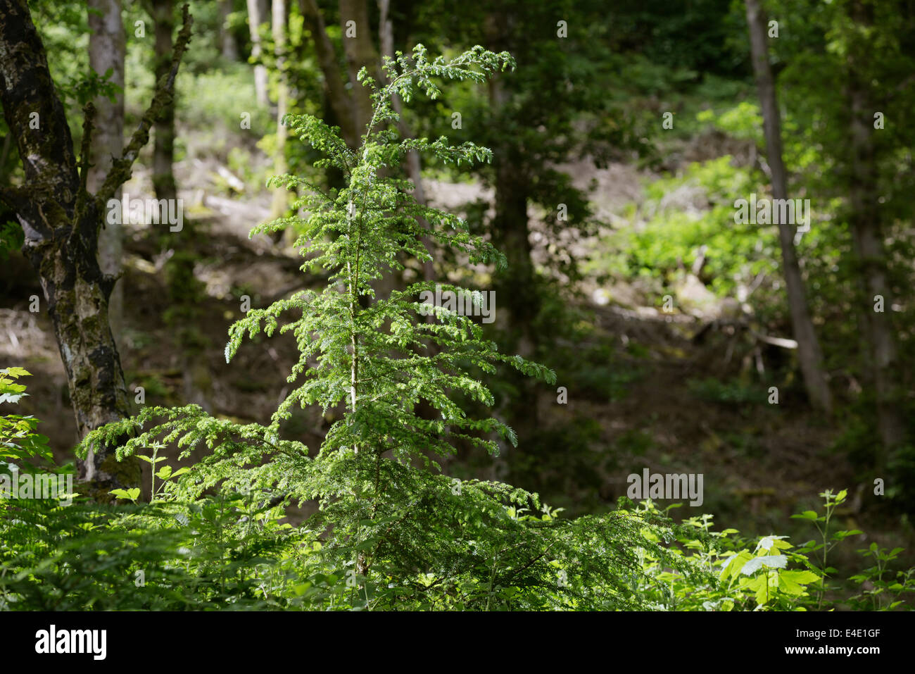 Tsuga heterophylla Western Hemlock regeneration on an ancient woodland site previously cleared of conifers, Wales, - Stock Image