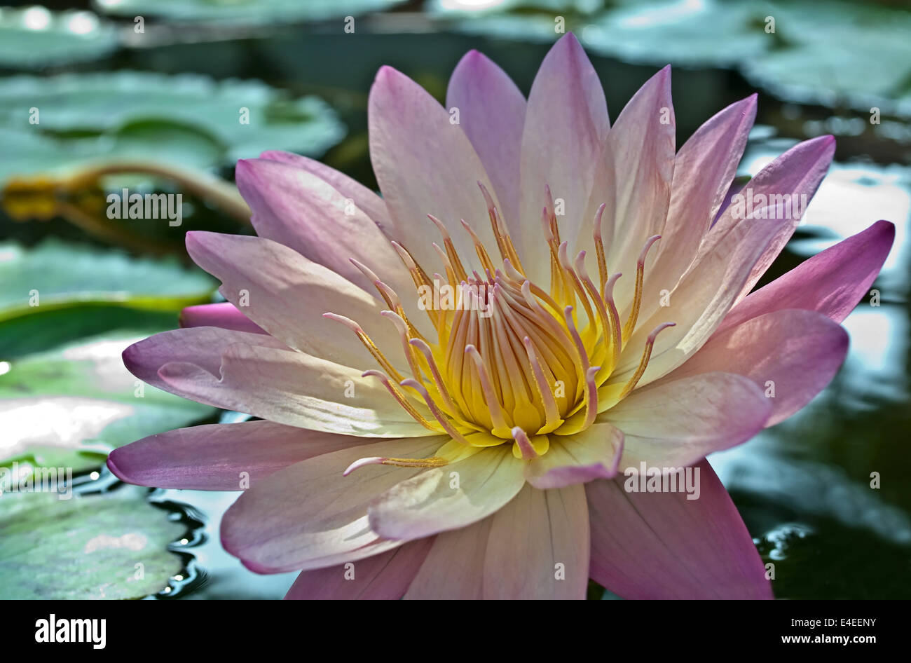 This Is A Stunning Light Purple Lotus Flower With Lily Pads Floating