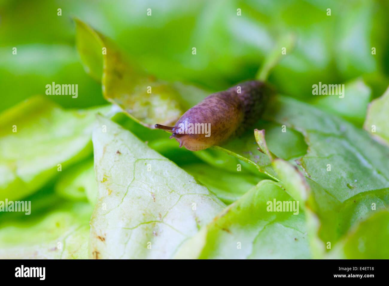 Nacktschnecke auf einem Salatblatt Stock Photo