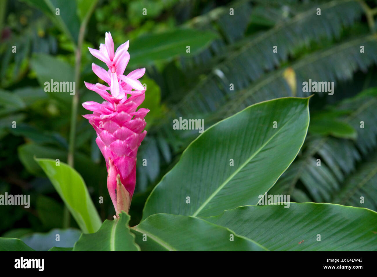 Pink Ginger Flower Growing On The Island Of Tahiti French Polynesia
