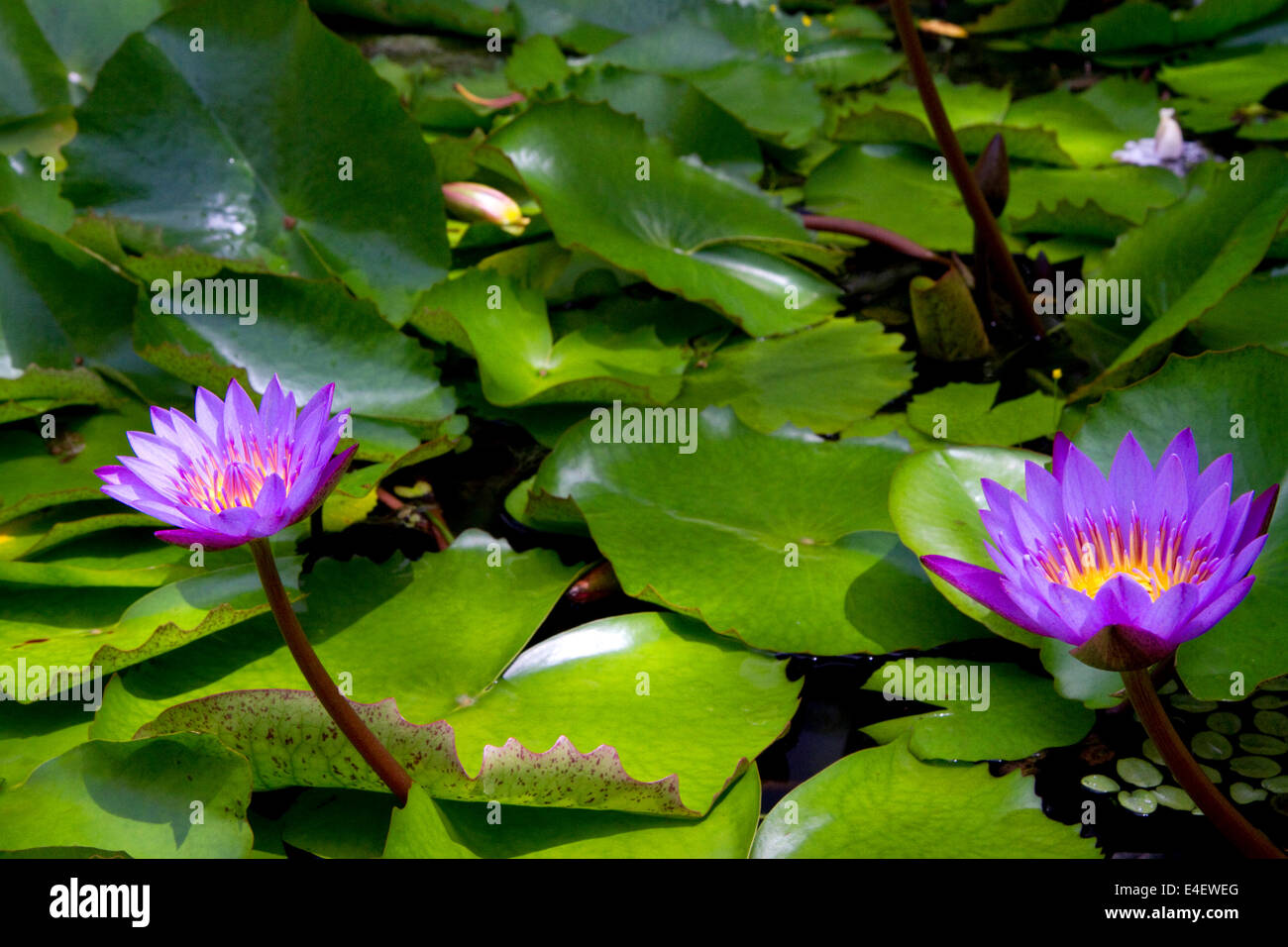 French lily stock photos french lily stock images alamy nymphaea nouchali star lotus water lily on the island of tahiti french polynesia izmirmasajfo