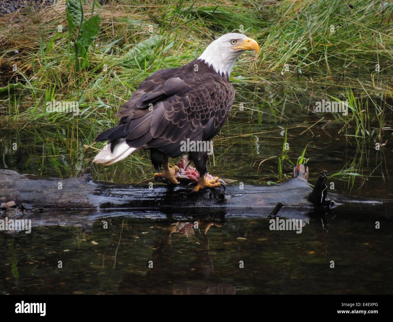 Bald Eagle (Haliaeetus leucocephalus) fishing for salmon in Gunnuk Creek, Kake, Kupreanof Island, Southeast Alaska, - Stock Image