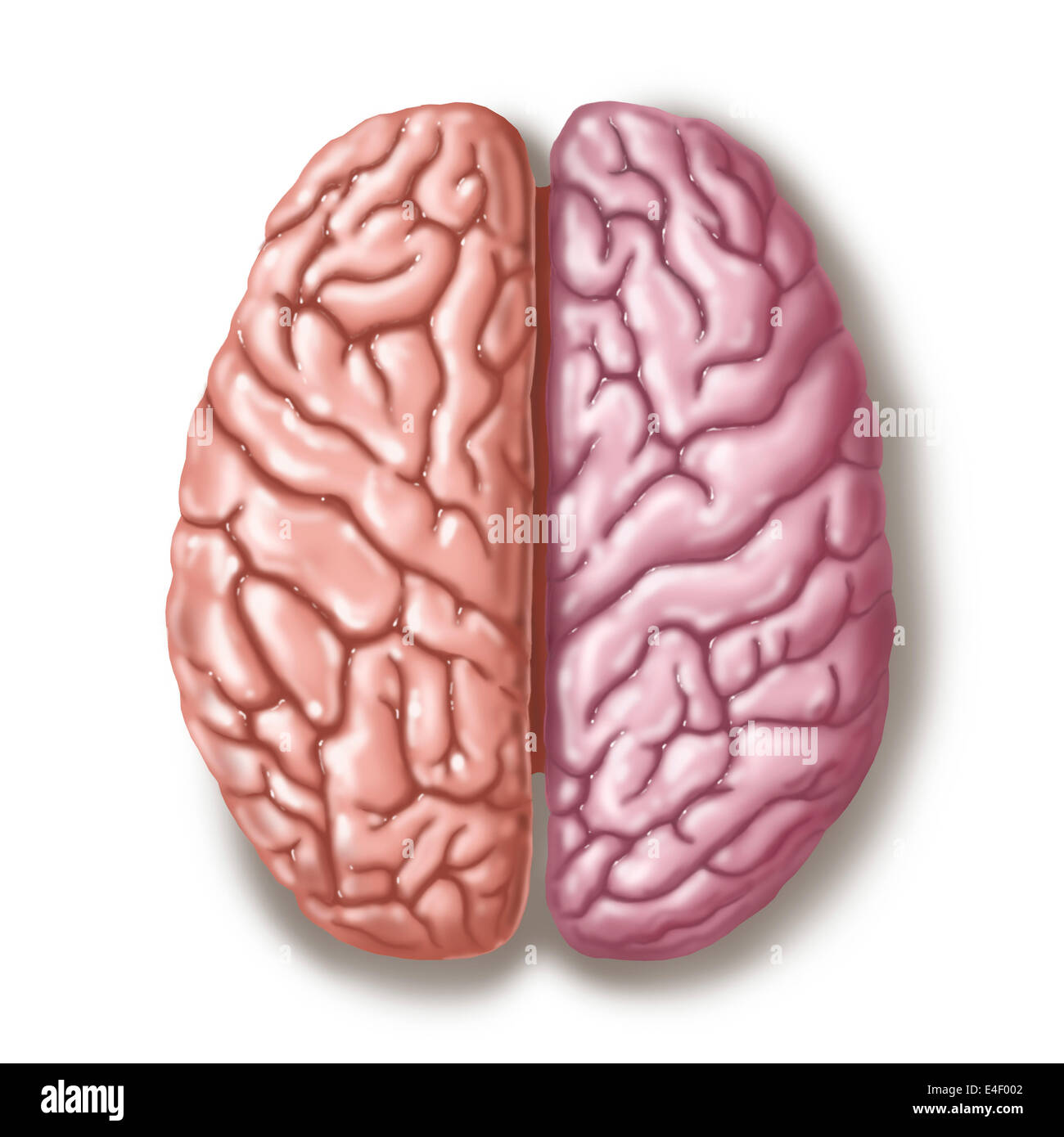 View of human brain from the top. - Stock Image