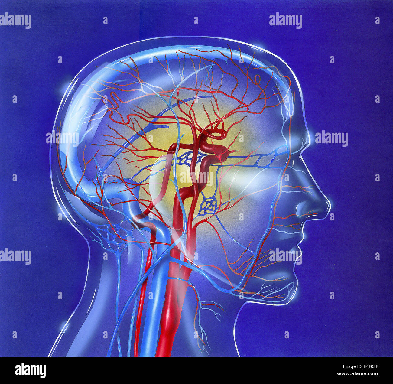 Main arteries and veins within a glass head. - Stock Image