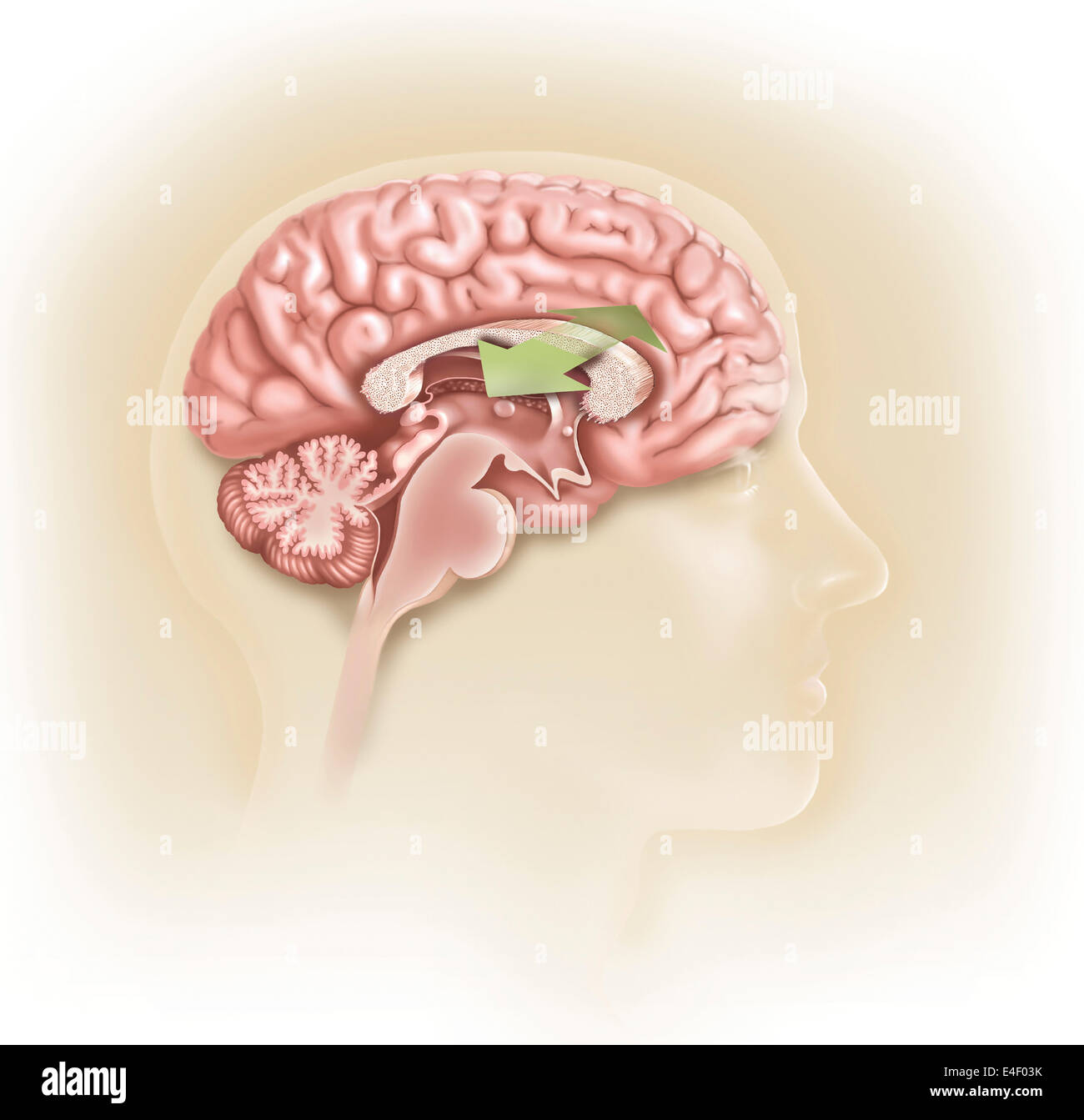 Sagittal view of human brain showing the corpus callosum. - Stock Image