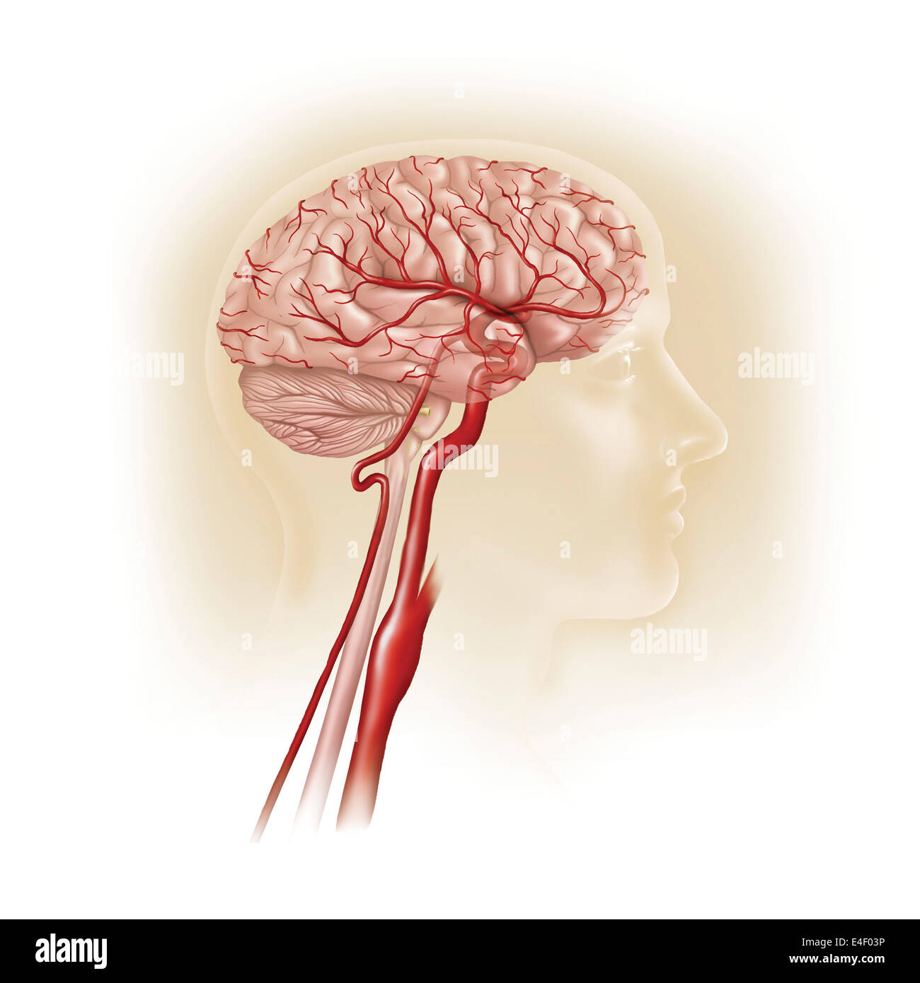 Side view of human brain showing internal carotid artery. - Stock Image