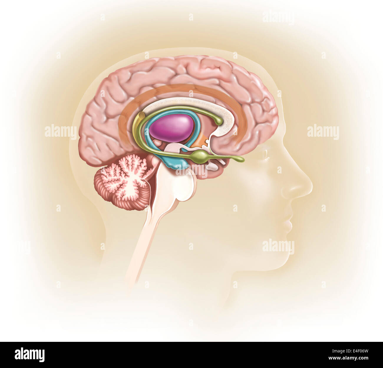 Sagittal view of human brain showing the limbic system Stock Photo ...