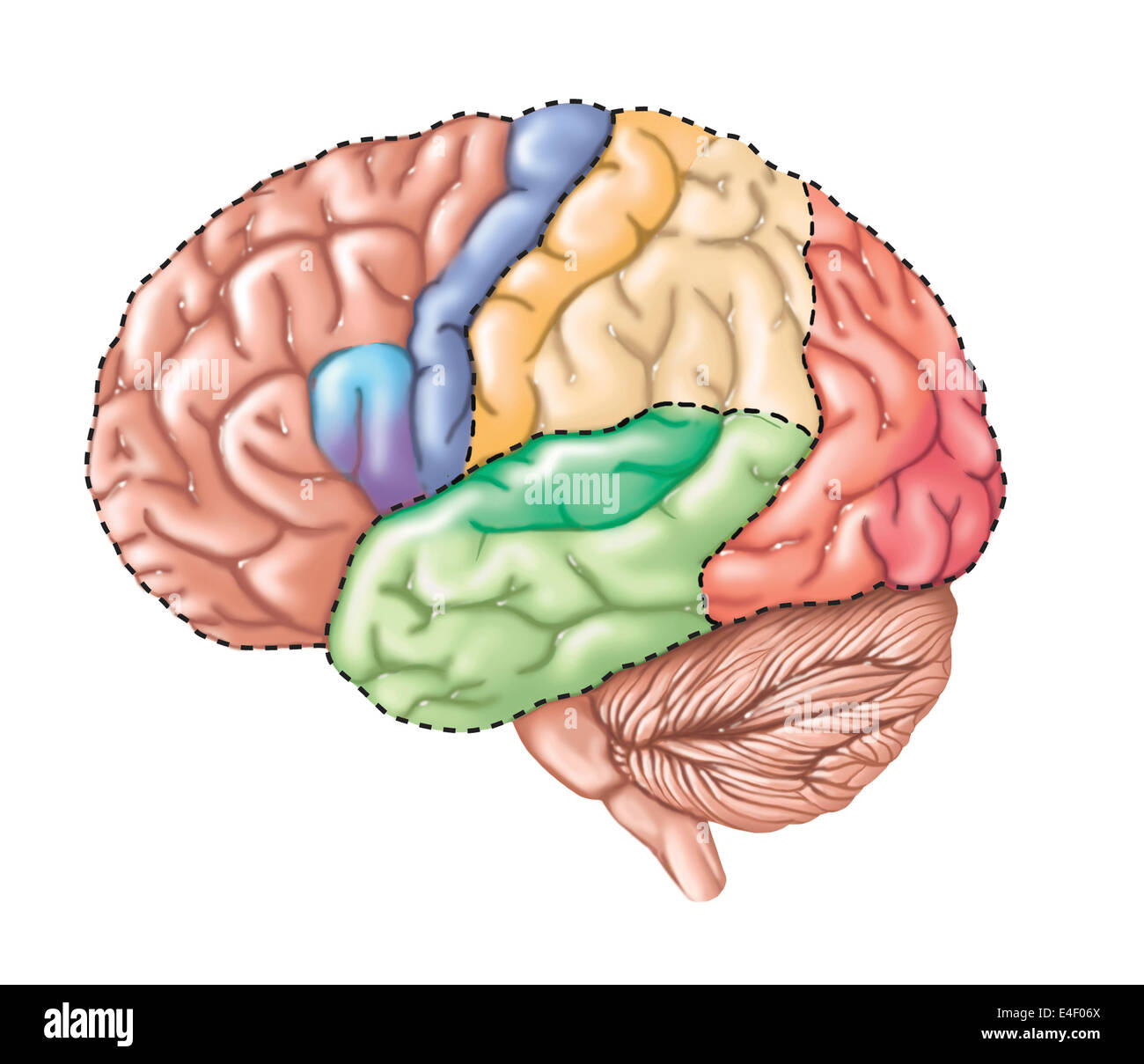 Side view of the human brain showing the functional lobes. - Stock Image