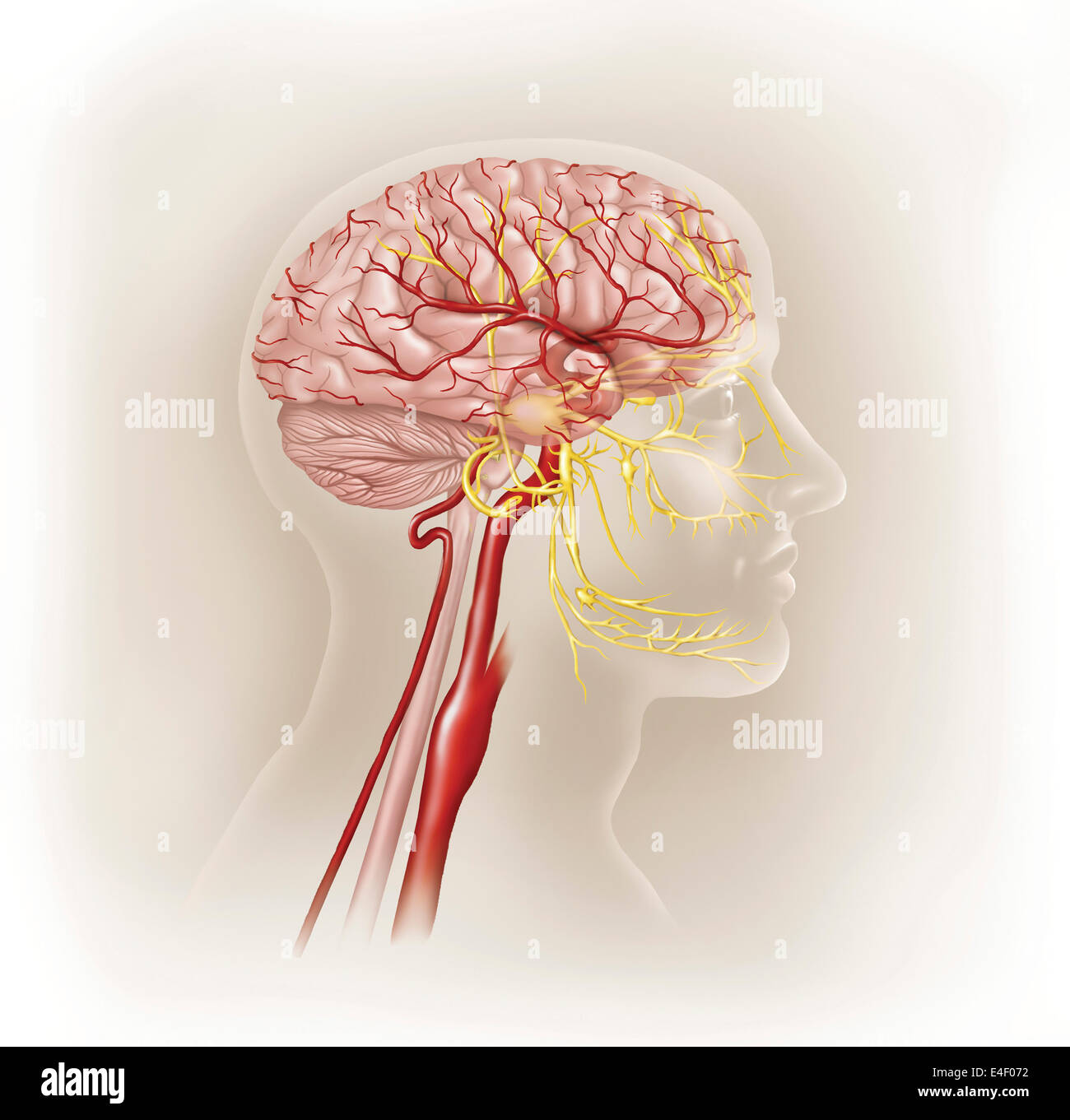 Detail of arteries of the human head and the trigeminal nerve. - Stock Image