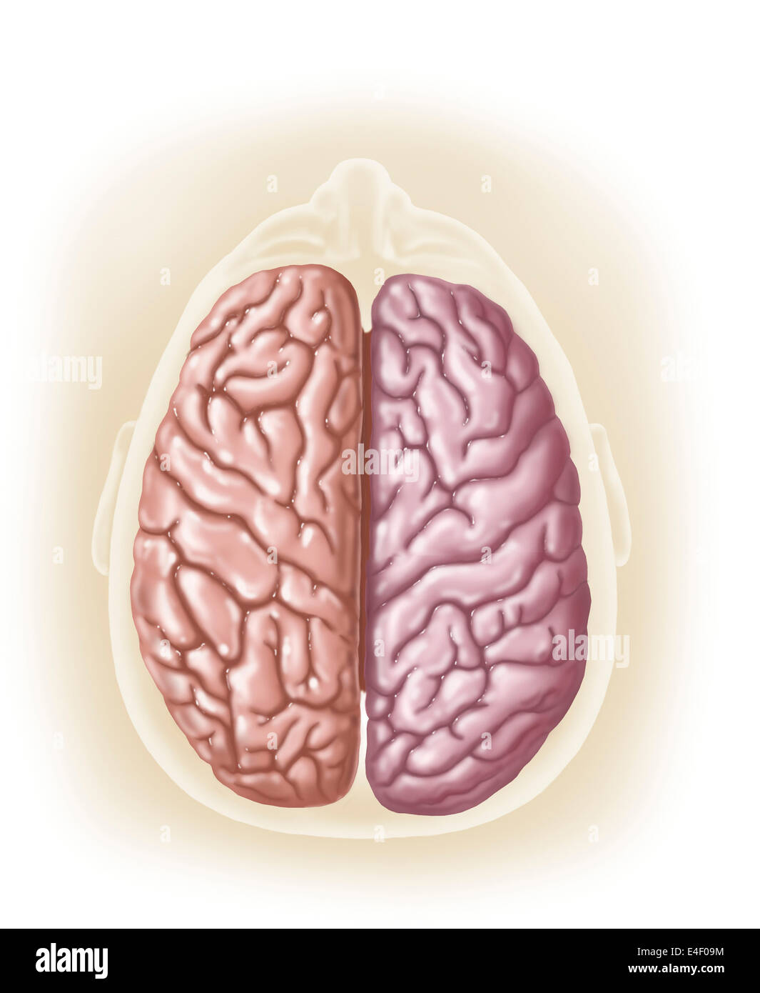View of top of human head showing hemispheres of the human ...