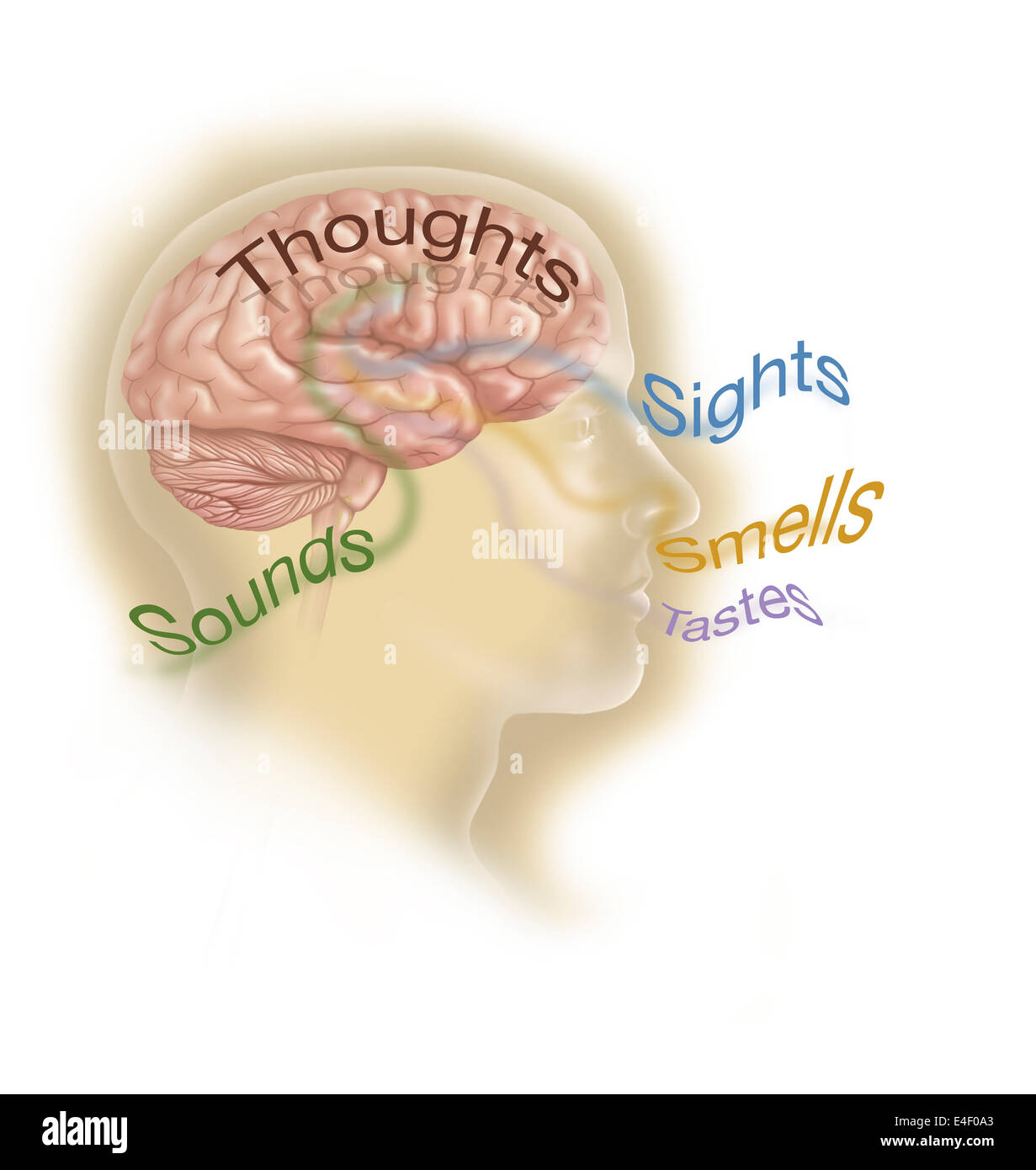 Representation of how our senses affect our thoughts. - Stock Image