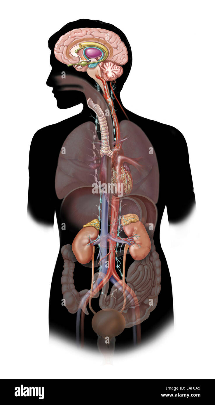 The sympathetic nervous system and the organs of fight-or-flight response. - Stock Image