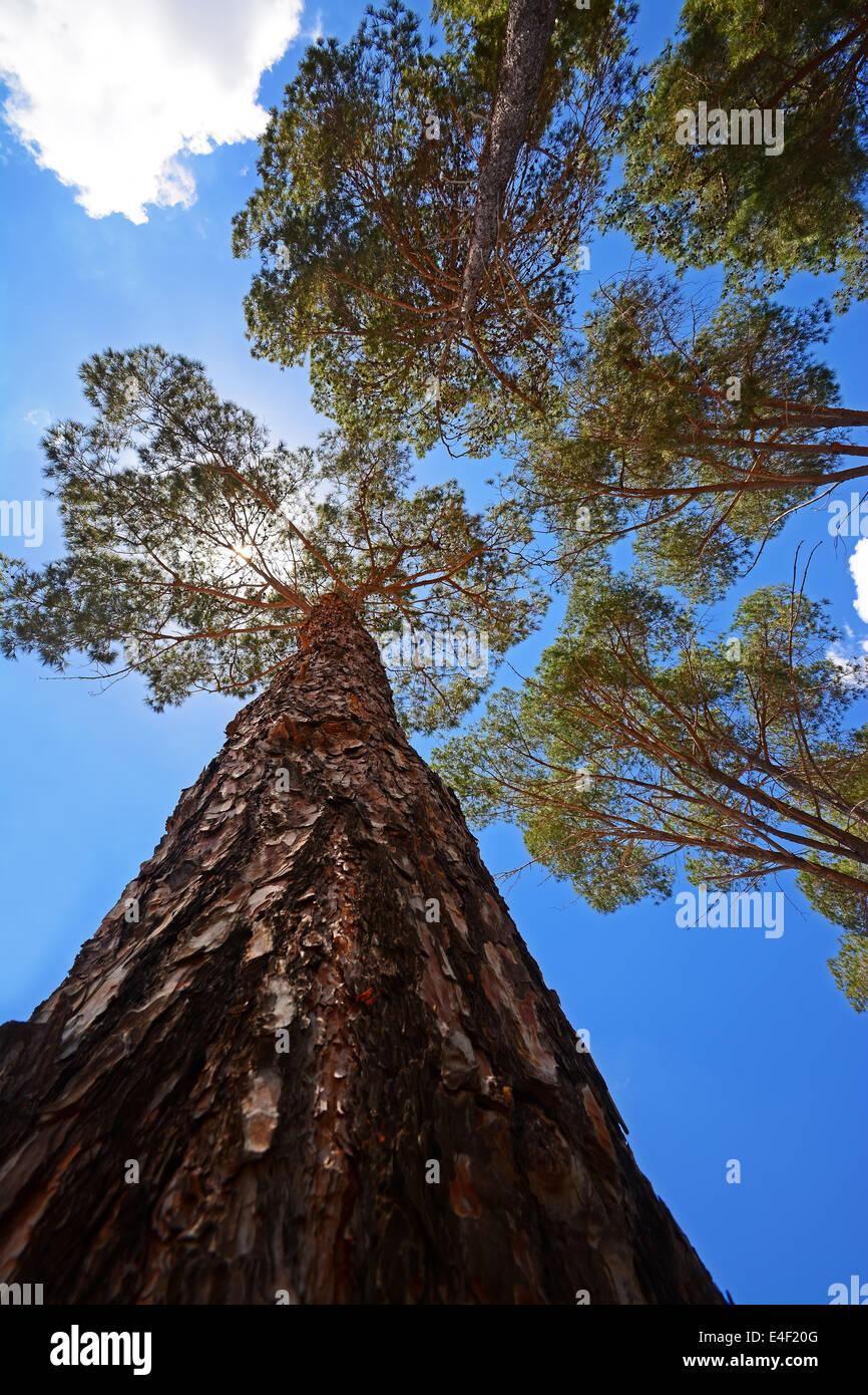 Jerusalem pine - Stock Image