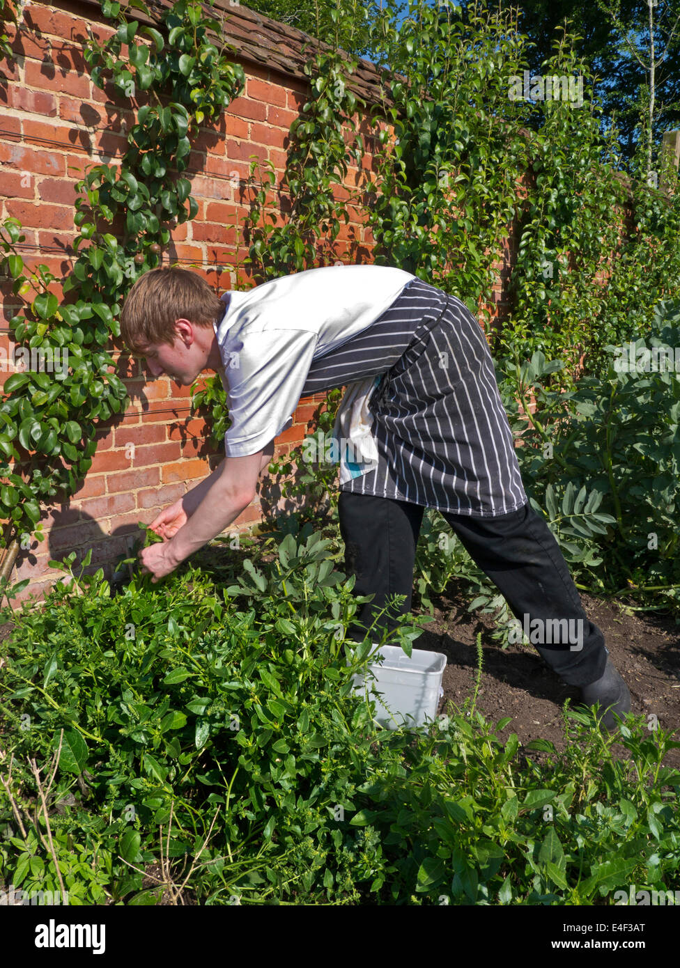 Young  commis chef picking fresh herbs in the kitchen garden ready for the restaurant evening service - Stock Image